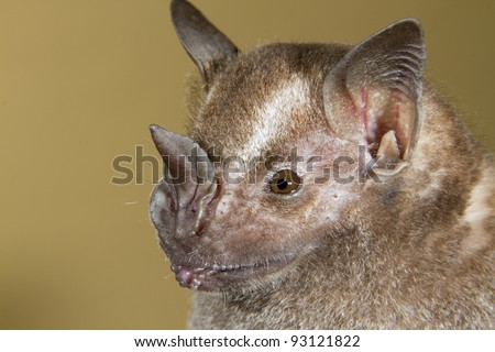 Jamaican, common or Mexican fruit bat (Artibeus jamaicensis) portrait (Puerto Viejo, Costa Rica). - stock photo