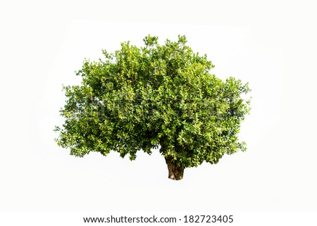 Jambul (Syzygium cumini) also known as Jambolan plum, Java plum, Black plum, tropical tree in the northeast of Thailand isolated on white background