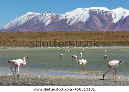 James's flamingos  on the background of the Alpine lakes and the snow-capped volcano in the Bolivian Andes. Also known as the puna flamingo, is populates the high altitudes of Andean plateaus - stock photo