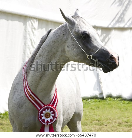JANOW PODLASKI-AUGUST 20: Grey stallion champion with red wreath on neck during Arabian Horses Show before Auction  on August 20, 2010 Janow Podlaski, Lubelskie,Poland. - stock photo