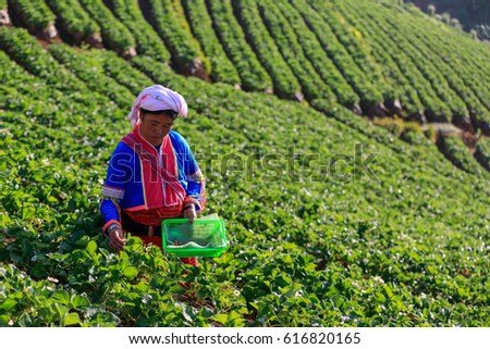 January 20, 2017, Hmong woman tribal  is walking in the morning at the mountain farm Strawberry in Mae Rim. Chiang Mai Province, Thailand
