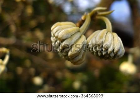 Japan flower bud before bloom macro closeup, Japenese flower bud before blooming - stock photo