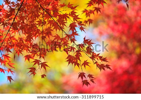 Japan, Kyoto, Arashiyama, colored leaves