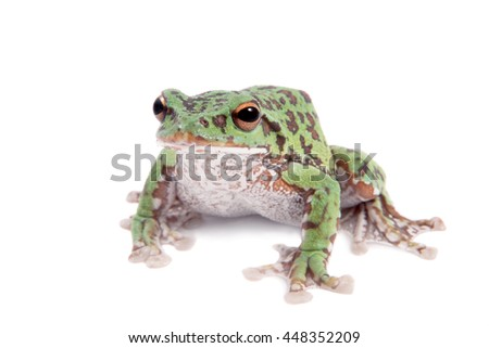 Japaneese forest green tree frog, Rhacophorus arboreus, on white isolated on white background - stock photo