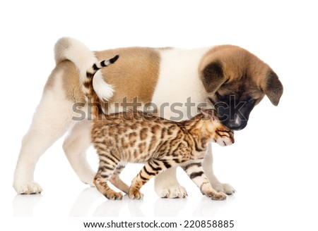 Japanese Akita inu puppy dog kisses small bengal cat. isolated on white background - stock photo