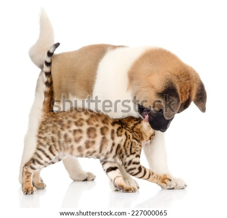 Japanese Akita inu puppy dog playing with small bengal cat. isolated on white background - stock photo