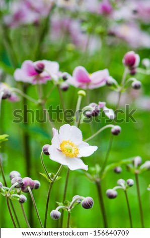 Japanese Anemone flowers in the garden, close up - stock photo