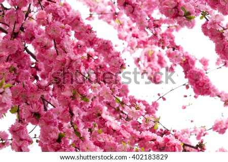 Japanese apricot flower, pink flowers and buds,beautiful pink flowers blooming in the garden in spring  - stock photo