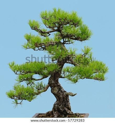 Japanese Black Pine bonsai (Pinus thunbergii) - stock photo