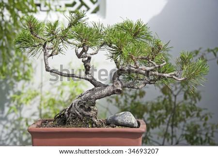 Japanese Black Pine Bonsai Tree - stock photo