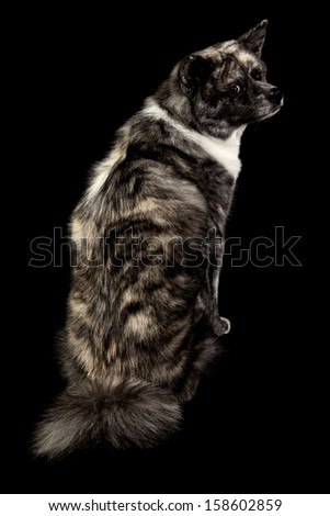 Japanese blue akita dog isolated on black - stock photo