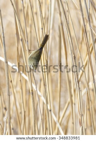 Japanese bush warbler in a forest of reeds. - stock photo