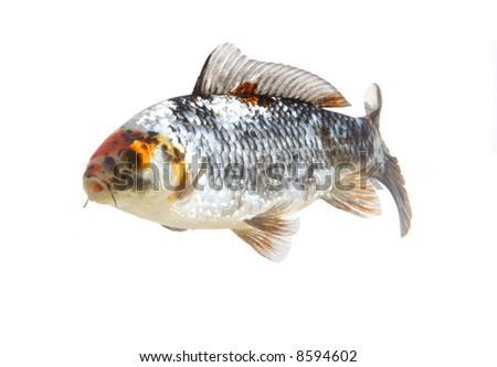japanese carp fish - stock photo