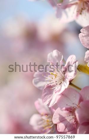 Japanese cherry blossom - stock photo