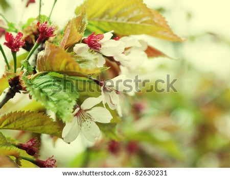 Japanese cherry blossom at early spring - stock photo
