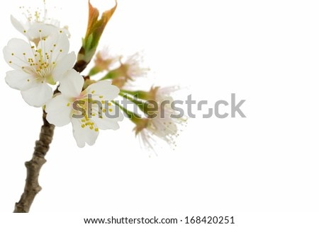 Japanese cherry blossom sakura flowers isolated on white background