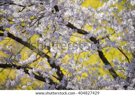 Japanese cherry blossom trees in the morning light. Spring sunrise in High Park, Toronto. Flowering tree branches on a bright yellow background - stock photo