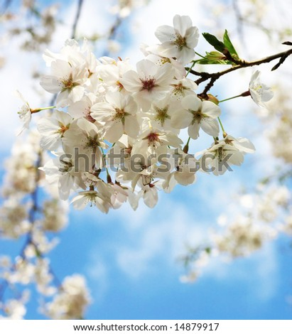 japanese cherry blossoms, high-key - stock photo