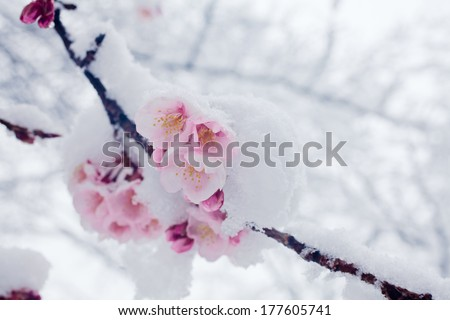 Japanese cherry blossoms in the snow - stock photo
