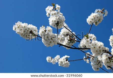 japanese cherry blossoms on blue sky