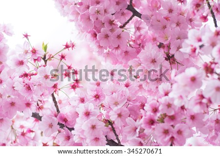 japanese cherry blossoms SAKURA - stock photo