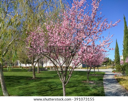 Japanese cherry (Prunus serrulata) is a species of cherry native to Japan, Korea and China and is used for its spring cherry blossom displays and festivals. - stock photo