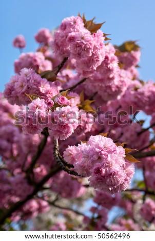 """Japanese cherry tree blossom (Prunus serrulata """"Hisakura"""") - stock photo"""