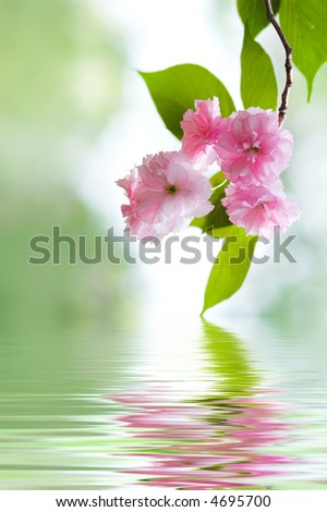 Japanese Cherry Tree Blossoms with water