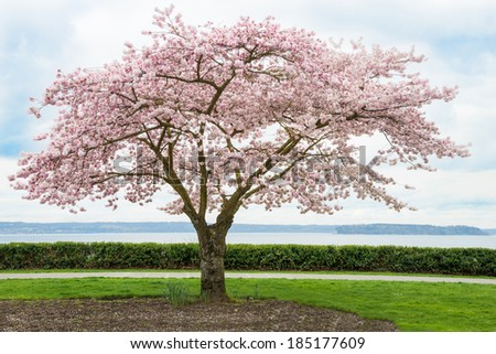 Japanese Cherry Tree in Bloom on Coast. Copy space.