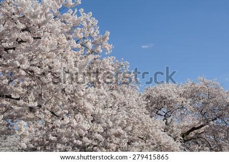 Japanese cherry trees full of cherry blossoms against blue sky - stock photo