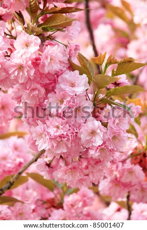 Japanese cherry with blossom - stock photo