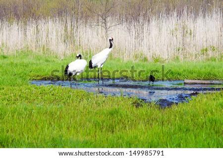Japanese Cranes (Grus Japonensis)  - stock photo