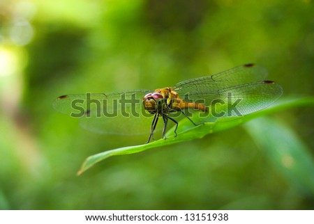 Japanese dragonfly