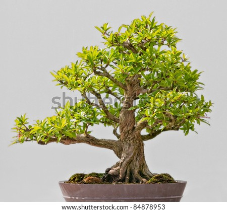 Japanese Evergreen Bonsai on Display grey background - stock photo