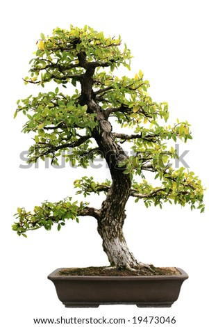 Japanese Evergreen Bonsai on Isolated background - stock photo