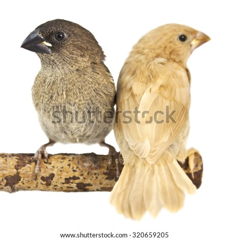Japanese Finch, isolated on white background. two chicks on a branch - stock photo