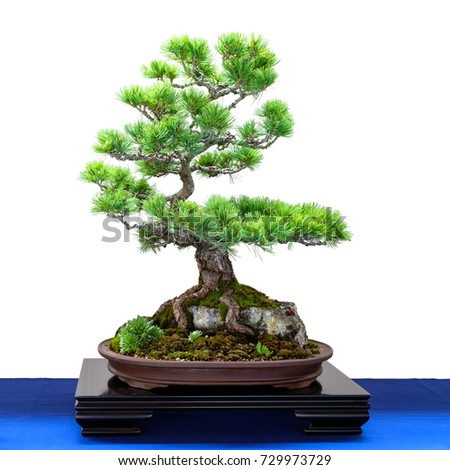Japanese five finger pine (Pinus parviflora) conifer as Bonsai tree is growing over a rock