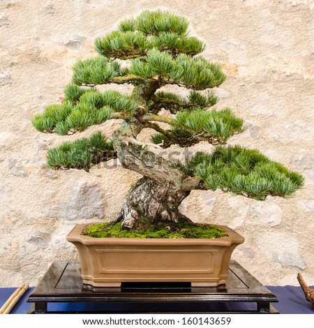 Japanese five needle pine (Pinus parvifolia) as bonsai tree in a pot - stock photo