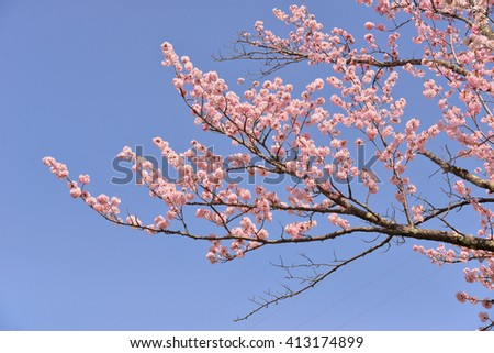 Japanese flowering cherry tree