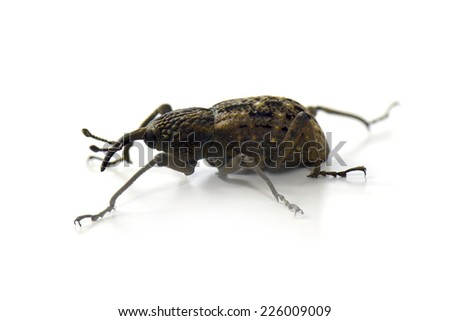 Japanese Giant Weevil isolated on white - stock photo