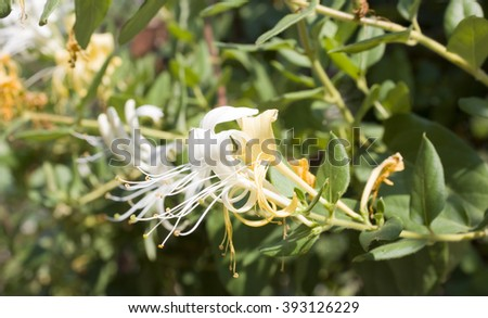 Japanese Honeysuckle, Honeysuckle Lonicera woodbine closeup - stock photo