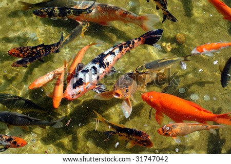 Japanese Koi fish in a pond - stock photo