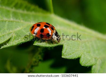Japanese Ladybug side view macro - stock photo