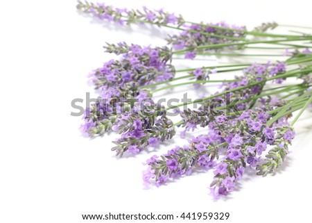 Japanese lavender blooming in white