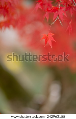 Japanese leaves in autumn