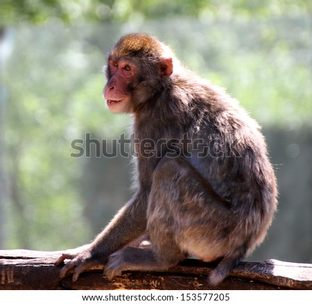 Japanese Macaque clung to the branch of a tree in savanna and launches a scream - stock photo