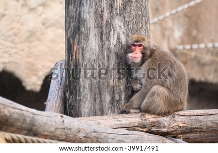 Japanese Macaque in Moscow zoo