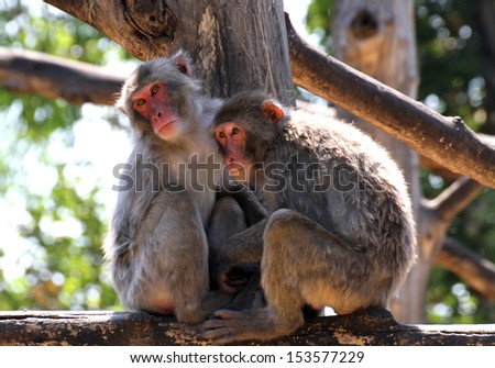 Japanese Macaque mother and daughter look lost in empty over a tree - stock photo