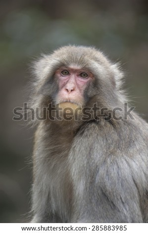 Japanese macaques at Iwatayama Monkey Park near Kyoto, Japan - stock photo