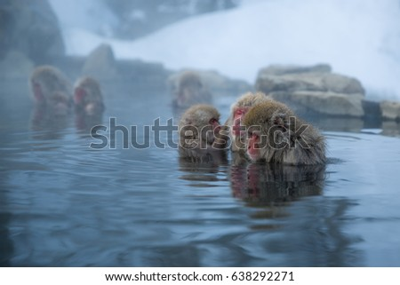 Japanese Macaques relaxing in a hot spring during winter in the Nagano prefecture.